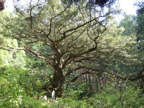 「ウグイスカグラ ~淡紅色の春の花木(1)」