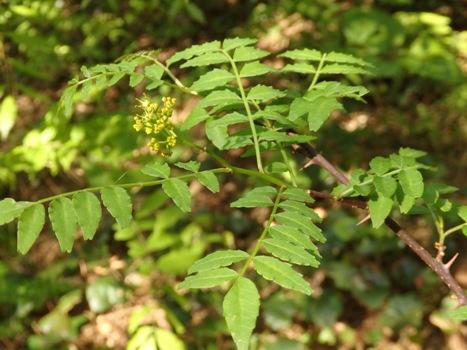 「サンショウ ~黄緑色の花、羽状複葉」
