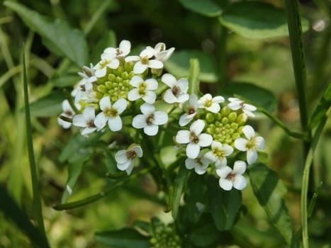 「オランダガラシ(クレソン) ~4弁花の花序」