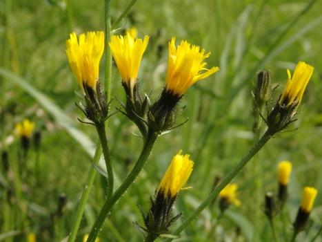 「コウゾリナ ~舌状花の頭花と剛毛」