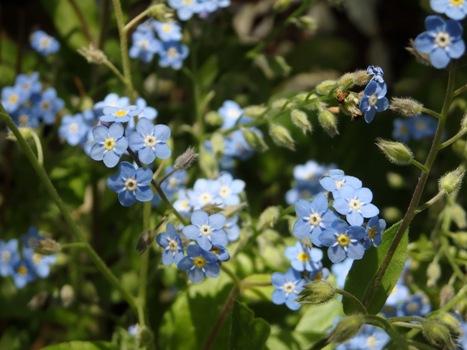 「ワスレナグサ ~花は薄青紫色に黄色」