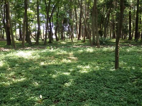 「日に透ける5月の緑葉」