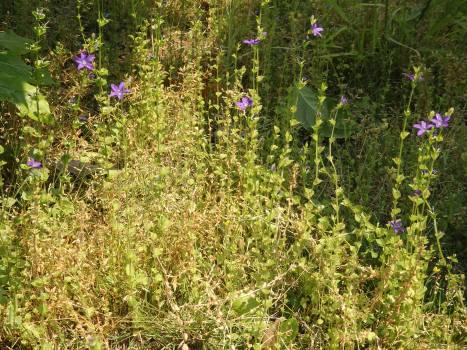 「キキョウソウ ~鮮やかな紫色の花」