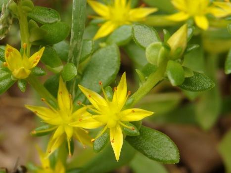 「コモチマンネングサ ~黄色い花とムカゴ」