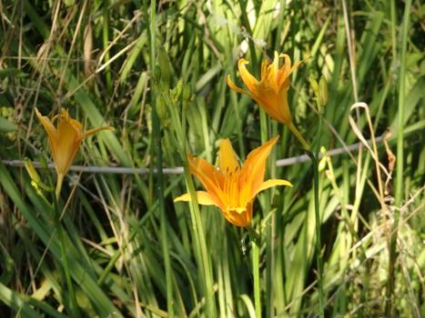 「ノカンゾウ ~夏に咲く赤橙色の花」