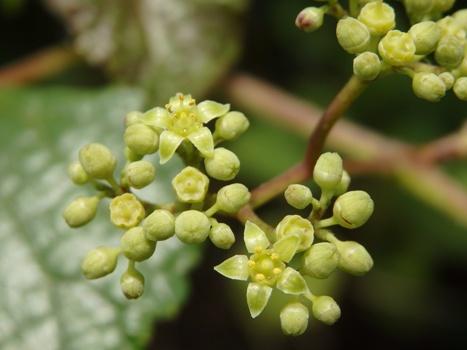 「ノブドウ ~小さな花~若い果実」