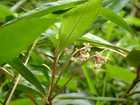 「カラタチバナ ~白い下向き花の花序」