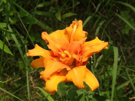 「ヤブカンゾウ ~蕊が弁化した八重咲」