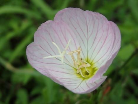 「ヒルザキツキミソウ ~淡桃色の花と十字雌蕊」