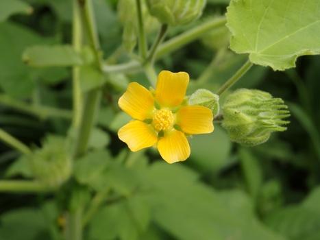 「イチビ ~黄色い花、若い果実」