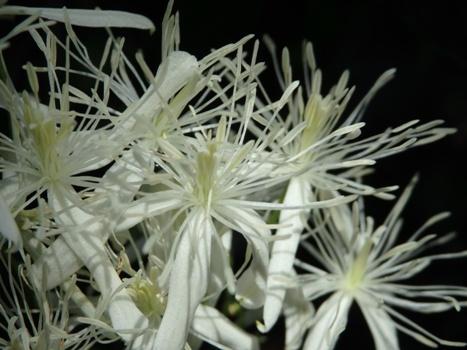 「センニンソウ ~見頃の花盛り(2)」