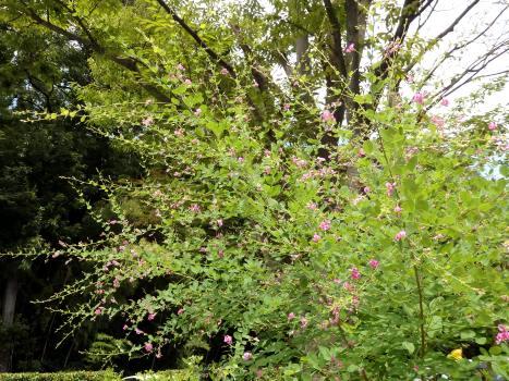 「ヤマハギ ~淡紅紫の蝶形花/萩の径(1)」