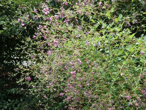 「ヤマハギ ~淡紅紫の蝶形花/萩の径(2)」