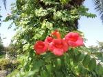 夏の花~アメリカノウゼンカズラ(20160718)