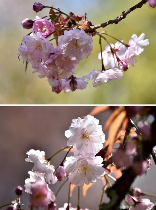 奈良九重桜