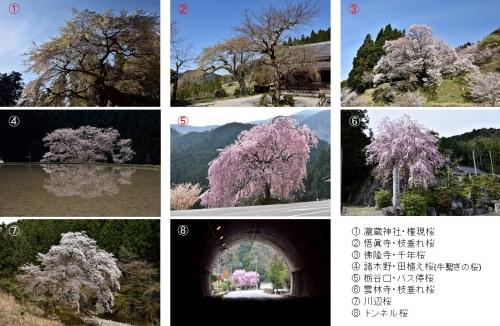 宇陀桜巡り