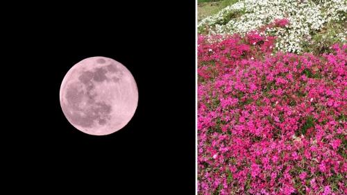 ピンクムーン芝桜1