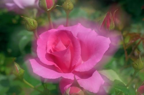 薔薇1ザマッカートニーローズ