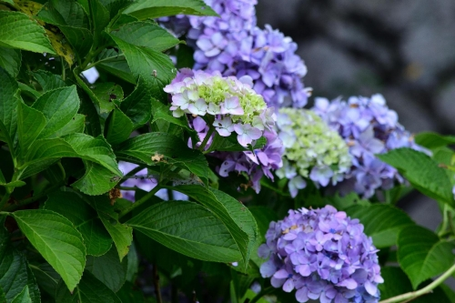 ⑩残り紫陽花-2