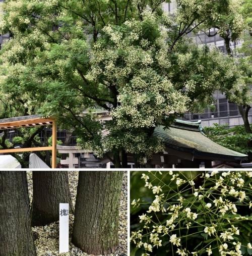 槐(エンジュ)の木