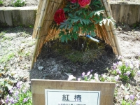 牡丹祭り2016-05-14-006