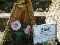 牡丹祭り2016-05-14-012