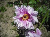 牡丹祭り2016-05-14-038