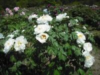 牡丹祭り2016-05-14-036