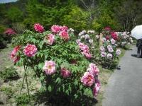 牡丹祭り2016-05-14-034