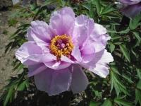 牡丹祭り2016-05-14-042