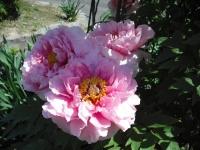 牡丹祭り2016-05-14-040