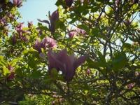 牡丹祭り2016-05-14-051