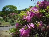 牡丹祭り2016-05-14-060