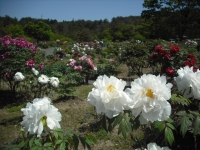 牡丹祭り2016-05-14-058