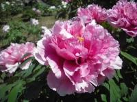 牡丹祭り2016-05-14-064
