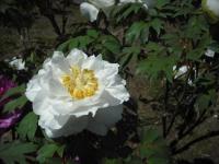 牡丹祭り2016-05-14-071