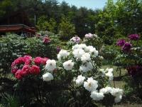 牡丹祭り2016-05-14-093