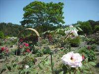 牡丹祭り2016-05-14-090