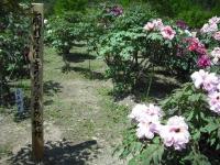 牡丹祭り2016-05-14-096