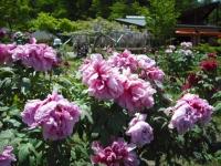 牡丹祭り2016-05-14-104