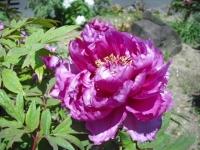牡丹祭り2016-05-14-102
