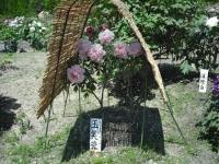牡丹祭り2016-05-14-111