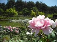 牡丹祭り2016-05-14-110