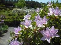 牡丹祭り2016-05-14-119