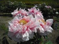 牡丹祭り2016-05-14-126