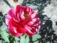 牡丹祭り2016-05-14-137