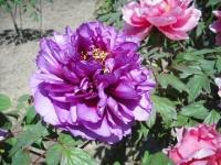 牡丹祭り2016-05-14-136