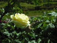 牡丹祭り2016-05-14-142