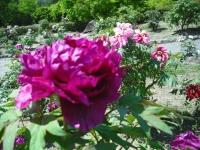 牡丹祭り2016-05-14-160