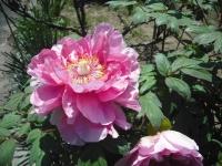 牡丹祭り2016-05-14-172